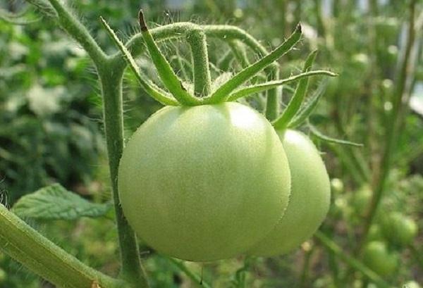 Компрессы из зеленых помидор