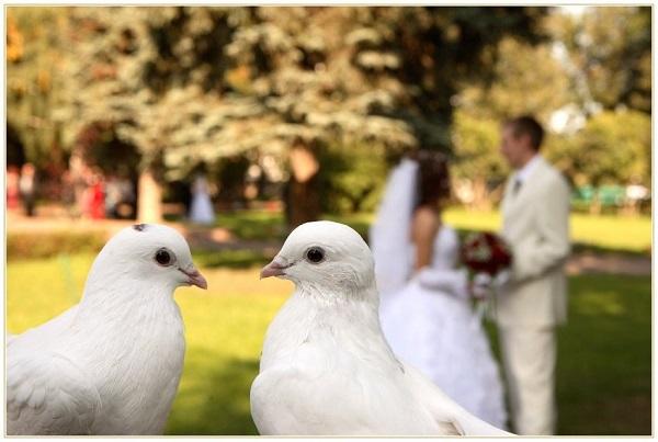 Голуби на свадьбу 1