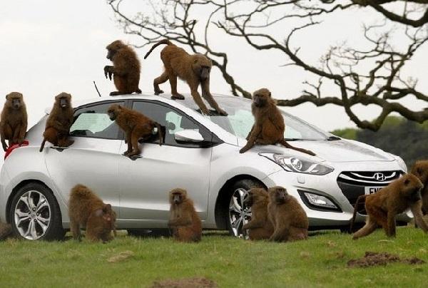 Автомобиль и обезьяны 1