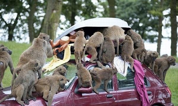 Автомобиль и обезьяны 2