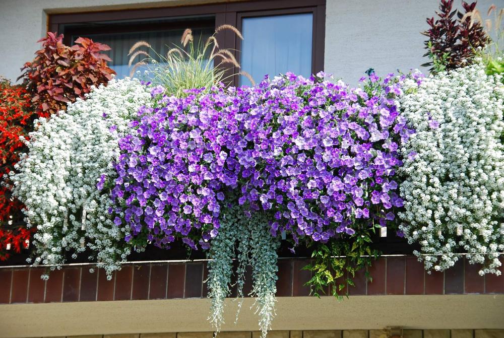 Фото - Балконные цветы